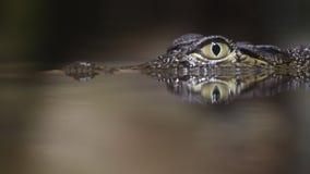 Kleine krokodil stock footage
