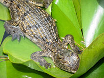 Kleine krokodil Royalty-vrije Stock Afbeeldingen