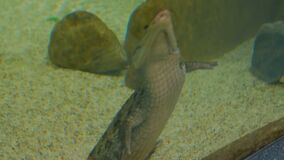 Kleine krokodil die in aquarium zwemmen stock videobeelden
