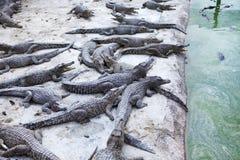 Kleine krokodillen in het water stock foto