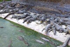 Kleine krokodillen op de bank stock afbeeldingen