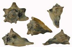 Kleine Kroonslak Shell Royalty-vrije Stock Afbeelding