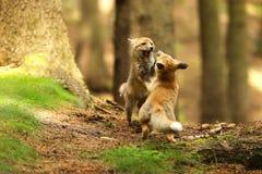 Kleine kubussen van rode vos die togerher - Vulpes vulpes spelen Royalty-vrije Stock Fotografie