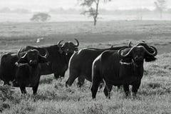 Kleine kudde van kaapbuffels Stock Fotografie
