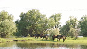 Kleine kudde van paarden en veulennen het weiden stock videobeelden