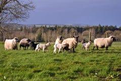 Kleine kudde van schapen en lammeren Stock Afbeeldingen