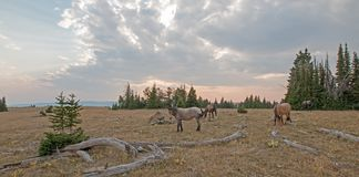 Kleine kudde van wild paarden die naast deadwoodlogboeken bij zonsondergang in de Pryor-Waaier van het Bergenwild paard in Montan Stock Afbeeldingen