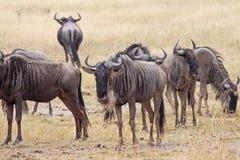 Kleine Kudde van Wildebeest Royalty-vrije Stock Afbeeldingen