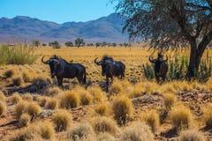 Kleine Kudde van Wildebeest Stock Foto