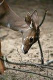 Kleine Kudu royalty-vrije stock afbeeldingen