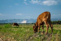 Kleine Kuh auf einem Ackerland Stockbilder