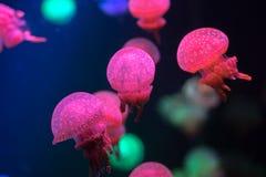 Kleine kwallen die in aquarium zwemmen Royalty-vrije Stock Foto