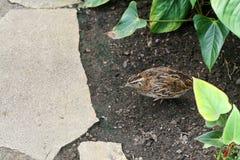 Kleine kwartels die een verzorgde tuin doornemen Stock Afbeelding