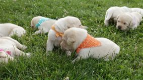 Kleine labrador retriever-puppy die in gras het rusten liggen stock footage