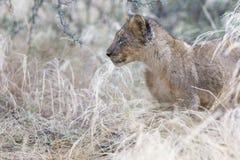 Kleine leeuwwelp die door nat gras na regen lopen Royalty-vrije Stock Foto's