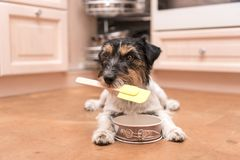 Kleine leuke en hond die - de terriërhond van hefboomrussell koken bakken royalty-vrije stock foto