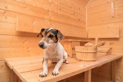 Kleine leuke honden in de sauna - de leuke terriër van hefboomrussell stock foto