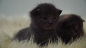 Kleine leuke pasgeboren katjes die op het schapenbont leggen Sluit omhoog 4K stock video