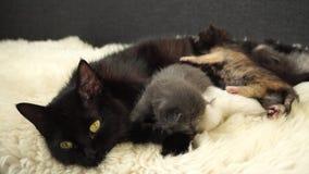 Kleine leuke pasgeboren katjes met mamma die op het schapenbont leggen Sluit omhoog 4K stock video
