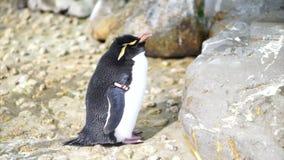 Kleine leuke pinguïn die zich rond de rots bevinden Rechte Kuifpinguïn stock footage