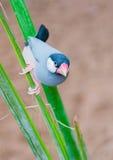 Kleine lichtblauwe vogels Royalty-vrije Stock Foto's