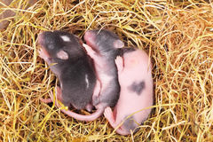 Kleine Mäusebabys im Nest Stockfotos
