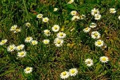 Kleine madeliefjes met gras Stock Afbeeldingen