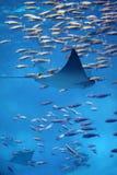 Kleine mantastraal die door zwerm van vissen zwemt Stock Afbeelding
