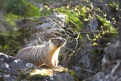 Kleine marmot op een rots. Stock Afbeeldingen