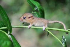 Kleine Maus Stockfotos