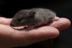 Kleine Maus Lizenzfreie Stockbilder