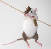 Kleine Maus Stockfoto