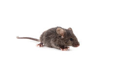 Kleine Maus Stockfotografie