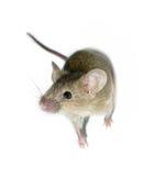 Kleine Maus getrennt Lizenzfreies Stockfoto