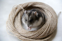Kleine Maus, Hamster Stockfoto
