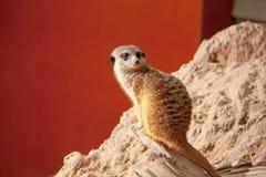 Kleine meerkat Royalty-vrije Stock Fotografie