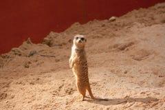 Kleine meerkat status Royalty-vrije Stock Afbeelding