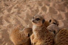Kleine meerkatsfamilie Stock Afbeelding