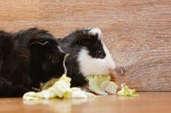 Kleine Meerschweinchen, die Kohlblatt essen Lizenzfreie Stockfotografie