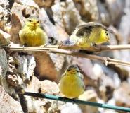 Kleine mezen uit het nest Royalty-vrije Stock Fotografie