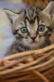 Kleine Miezekatze Stockfotografie