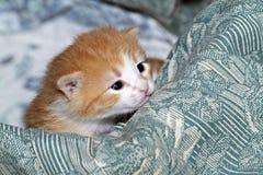 Kleine Miezekatze mustert weit offenes, die große Welt der roten flaumigen Katze der Neigungsfreuden-Augen betrachtend. Steppdecke Lizenzfreie Stockfotografie