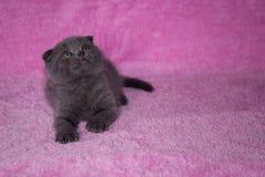 Kleine Miezekatze Scottishzucht Stockfotografie