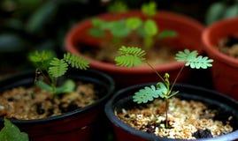 Kleine Mimose Stockbild