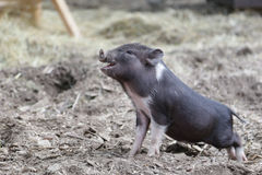 Kleine miniatuurvarkens mini piggy in het petting van dierentuin Stock Afbeelding