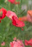 kleine Mohnblumen Stockbild