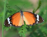 Kleine monarch - plain tiger butterfly spreads its wings in the sun. This Kleine monarch - plain tiger offers us full view of its beautiful wings as it suns royalty free stock photo