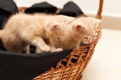 Kleine mooie kat twee in rieten mand Stock Foto's