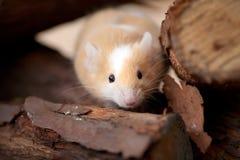 Kleine muis die uit houten stapel gluurt Royalty-vrije Stock Afbeelding