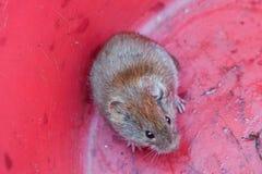 Kleine muis in roze emmer met ogen stock afbeeldingen